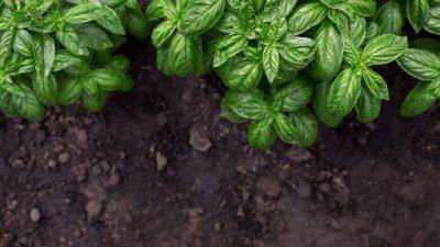 Jakie zioła uprawiać w ogródku