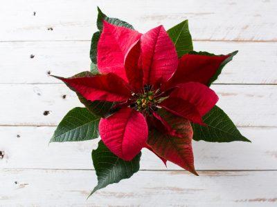 Gwiazda betlejemska - jak ją pielęgnować w domu?